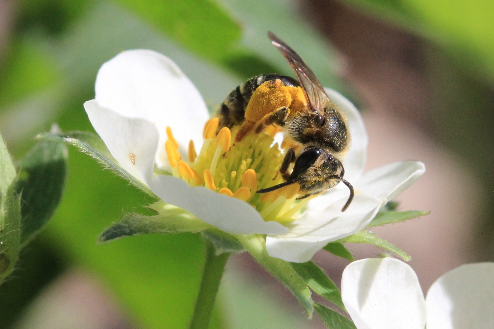 Native bee on strawberry flower