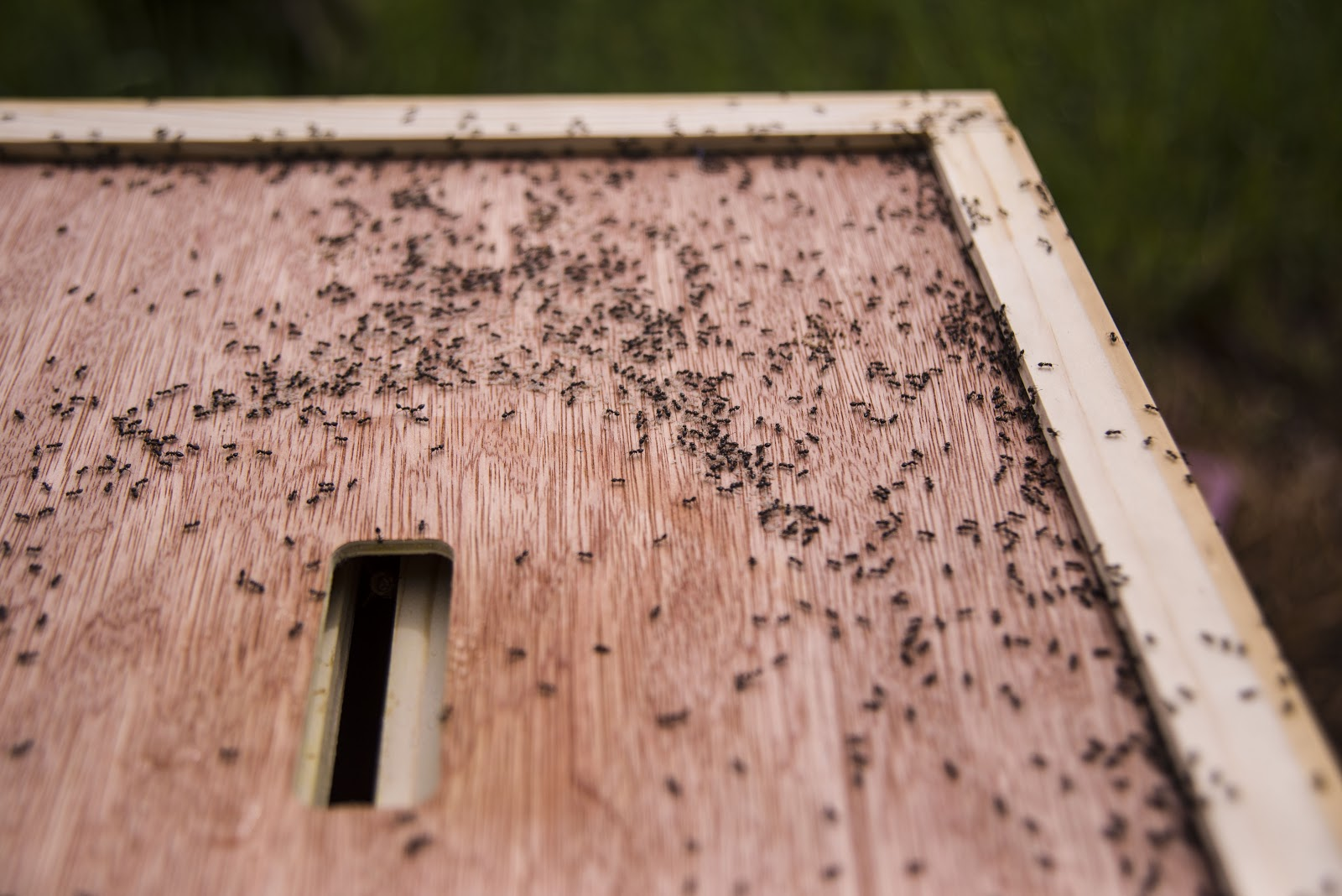 ants in hive