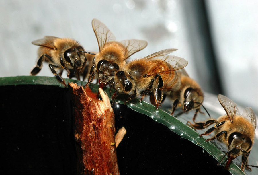 honey bees drinking water