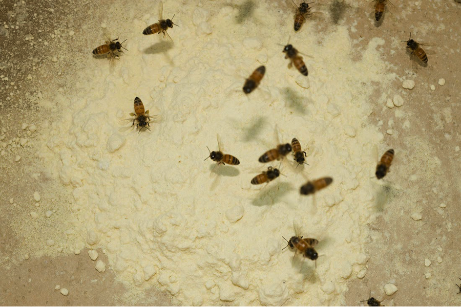 Bees collecting pollen powder