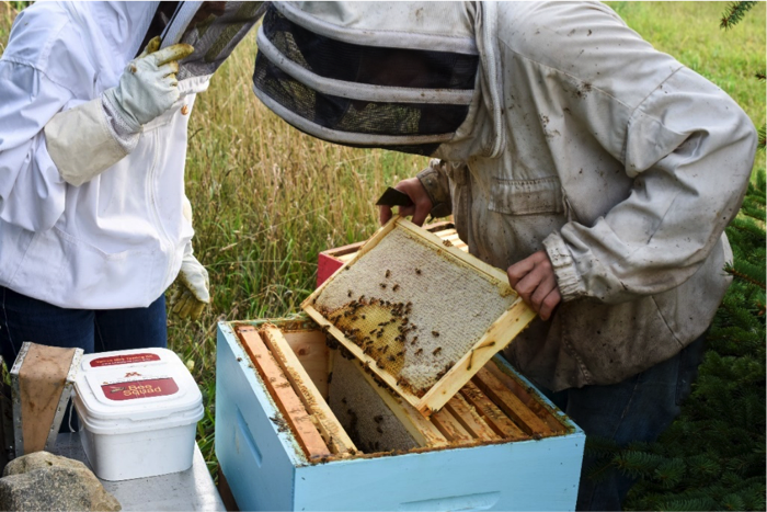 Beekeepers checking frames for mites