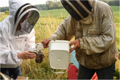 Beekeepers dumping bees into jar