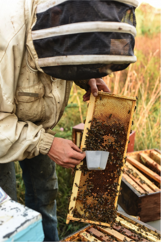 Beekeeper scooping bees directly from frame