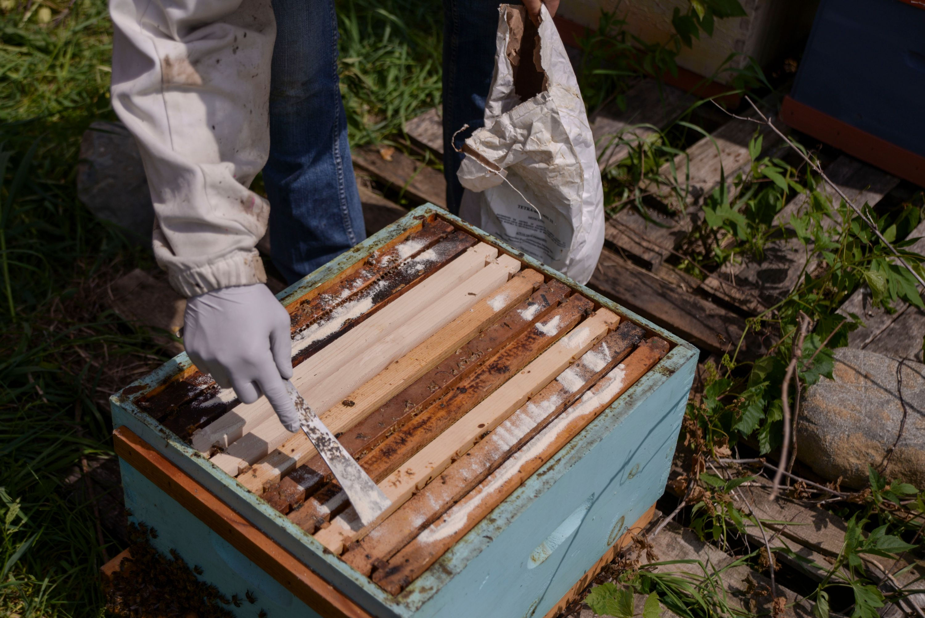 Applying antibiotic to the top bars of brood frames