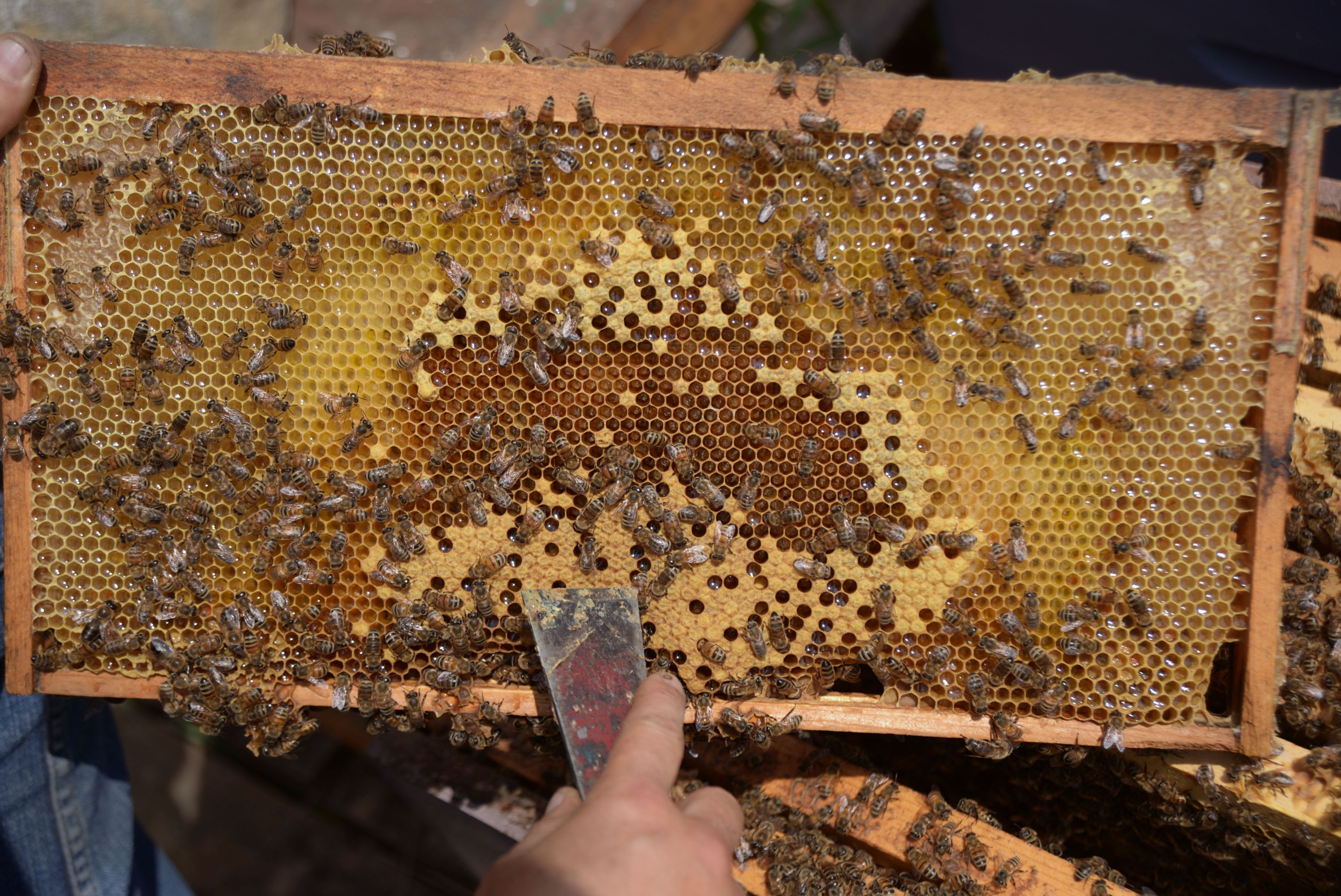 backfilling honey in brood frame
