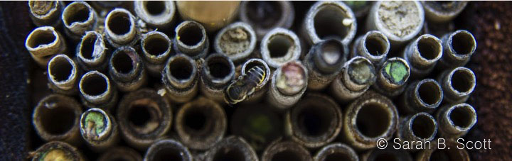 Native bee on a bee hotel