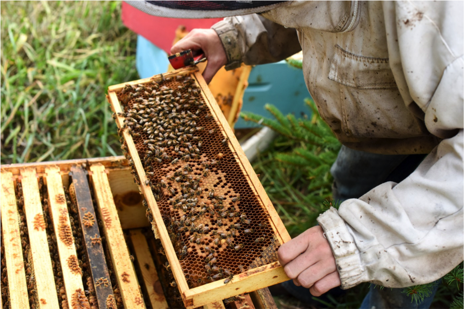 Beekeepers checking for queen on frame