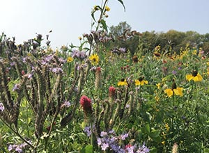 Pollinator plot with native wildflowers
